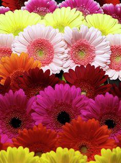 My favourite flowers, gerberas. Happy Flowers, Pretty Flowers, Colorful Flowers, Pink Flowers, Flowers Perennials, Planting Flowers, Daisy Love, Gerber Daisies, Amazing Flowers