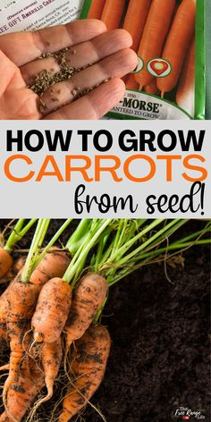 Carrots are a great, cool weather crop to grow in your vegetabe garden. They are easy to grow from seed and can store well inside after harvest. Learn how to grow carrots from see for your garden this year. Benefits Of Gardening, Organic Gardening, Urban Gardening, Gardening For Beginners, Gardening Tips, Planting Carrots Seeds, Growing Vegetables At Home, Starting Seeds Indoors, Garden Design Plans