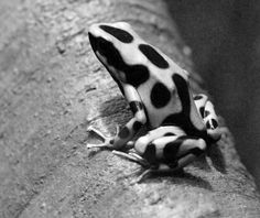 black and white frog - Google Search