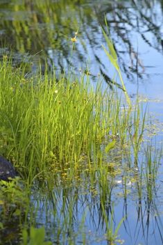 In spite of all its charming details, bulrush can become an invasive nuisance. It is also protected in many states, so it is important to know how to kill bulrushes without harming natural habitat and wildlife. This article will help. Pond Weed, How To Kill Grass, Killing Weeds, Invasive Plants, Garden Landscaping, Garden Ponds, New Things To Learn, Water Plants, Survival Prepping