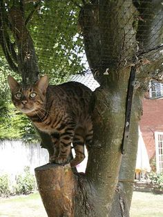 Cat Proof Tree with Bengal