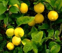 I've always wanted my own lemon tree. This site tells you how to take care of one and how to make it produce fruit.