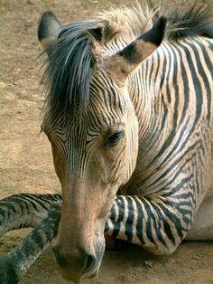 Zebra hybrid   Flickr - Photo Sharing!