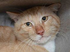 LEOPOLD - A1047612 - - Brooklyn  **TO BE DESTROYED 08/19/15 *** LEOPOLD IS AN ORANGE TABBY LION IN NEED OF RESCUE TONIGHT!! LEOPOLD is not doing at all well at the ACC. Trapped and dumped there he has a NEW HOPE rating and needs a rescue to save him. LEOPOLD is a healthy boy but needs to trust again. IF YOU CAN FOSTER LEOPOLD AND HELP HIM BLOSSOM….PLEASE CONTACT A NEW HOPE RESCUE!! So many cats on the list tonight and cats like LEOPOLD need a fighting chance!! PLEASE