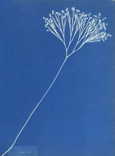 Anna Atkins (British, 1799 - and Anne Dixon (British, 1799 - Cyanotype; Atkins, Wayne Dyer, Typographie Logo, Motifs Textiles, Illustration Botanique, Creation Art, Getty Museum, Illustrations, Museum Collection