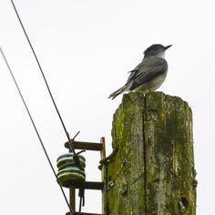 Aves de Chile. #aves #chile #diucon #pajaros #naturaleza #fauna #ornitologia Bird Feeders, Fauna, Outdoor Decor, Blog, Round Eyes, Argentina, Naturaleza, Pictures, Blogging