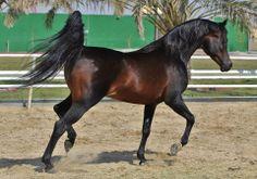 Dark Bay Arabian Horses