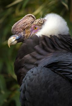 Male Andean Condor, Cobquecura, Chile; photo by Alan Shapiro - #etologiarelazionale - The ethology of emotions and empathy