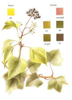 Ivy dyeing