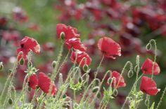 Tanja Riedel: Mohnblumen Feld - Bild auf Alu-Verbundplatte Wandbilder Blumen & Pflanzen Mohnblumen