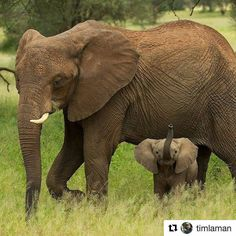 How it is possible to be so cute. .? @daily_elephant.lovers - Thanks mom for looking after me when i was little and for everything else . Happy Mother's Day from Tanzania Credit to @timlaman - . . For info about promoting your elephant art or crafts send me a direct message @elephant.gifts or email elephantgifts@outlook.com . Follow @elephant.gifts for beautiful and inspiring elephant images and videos every day! . #elephant #elephants #elephantlove