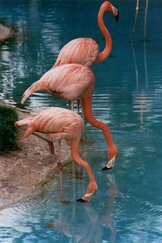 pictures of pink flamingos birds Pretty Birds, Beautiful Birds, Animals Beautiful, Flamingo Art, Pink Flamingos, Flamingo Photo, Exotic Birds, Colorful Birds, Animals And Pets