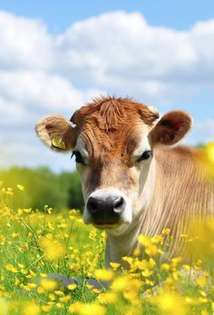 photography from photography talk: www. photography from photography talk: www. Cow Photos, Cow Pictures, Animal Pictures, Farm Animals, Animals And Pets, Cute Animals, Yellow Animals, Beautiful Creatures, Animals Beautiful