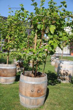 Vitis vinifera, Weinrebe, Grape vine, im Fass