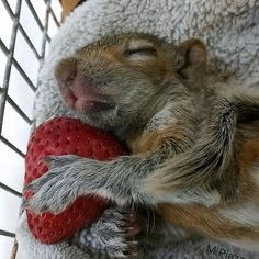 Sometimes you just need to nap on a strawberry.