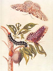 Maria Sibylla Merian - A painting showing the metamorphosis of Thysania agrippina produced in 1705.