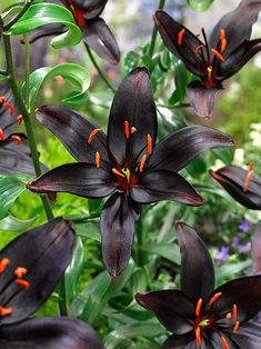 Lily 'Queen of the Night' is said to be unique, because of its near-black petals. It contrasts well with border plants and makes a good cut flower