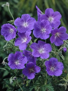orion geranium  - blooms all summer into fall