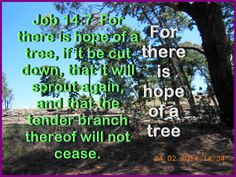 Job 14:7  For there is hope of a tree, if it be cut down, that it will sprout again, and that the tender branch thereof will not cease.