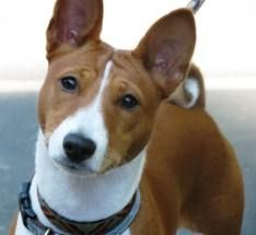 The Basenji is an ancient