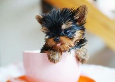 Teacup Yorkie price range - how much does a teacup Yorkie cost and what determine the teacup Yorkshire terrier price? Mini Yorkie, Teacup Yorkie, Yorkie Puppy, Teacup Terrier, Baby Yorkie, Teacup Dogs, Tea Cup Yorkie Puppies, Chihuahua, Teacup Animals