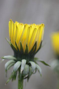 Dandelion flower opening by Lord V, via Flickr