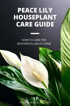 House Plant Maintenance Tips Everything You Need To Know About Peace Lily Plant Care. Figure out how To Grow And Care For The Popular Peace Lily Houseplant. I Cover Everything, From Watering To Propagation To Help You Keep Your Peace Lily Thriving. Peace Lily Indoor, Peace Lily Plant Care, Peace Lily Flower, Peace Lillies, Peace Plant, Lilies, Smart Garden, Garden Care, House Plant Care