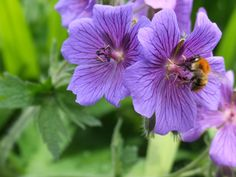 A bumble bee in June in the Church Cottage garden