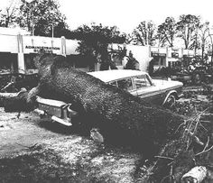 Damage at the Oregon State Fairgrounds from the 1962 Columbus Day storm, 1962