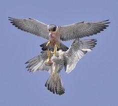 Falcon❤️ http://likes.livedan330.com/falcon