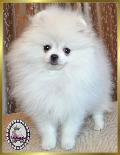 Marvelous Pomeranian Does Your Dog Measure Up and Does It Matter Characteristics. All About Pomeranian Does Your Dog Measure Up and Does It Matter Characteristics. White Pomeranian Puppies, Chihuahua, Save A Dog, Getting A Puppy, Companion Dog, Lap Dogs, Blue Merle, Little Dogs, Beautiful Dogs