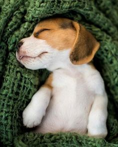 Are you interested in a Beagle? Well, the Beagle is one of the few popular dogs that will adapt much faster to any home. Whether you have a large family, p Cute Beagles, Cute Puppies, Dogs And Puppies, Puppies Puppies, Photos Of Puppies, Dog Photos, Begal Puppies, Spaniel Puppies, Cocker Spaniel