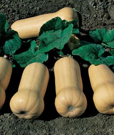 Winter Squash, Waltham Butternut- pick when stem start to dry & turn brown.There should be no green striping on the squash itself; it should be a uniform tan color. Cut the stem leaving in. of the stem on the squash. Then dip them in a bleach/water Organic Vegetable Seeds, Organic Seeds, Organic Vegetables, Organic Gardening, Vegetable Gardening, Grow Organic, Container Gardening, Growing Squash, Growing Veggies