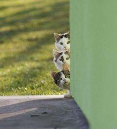 Cute Kittens cats peek a boo I Love Cats, Crazy Cats, Cool Cats, Funny Cats, Funny Animals, Cute Animals, Cute Kittens, Cats And Kittens, Beautiful Cats