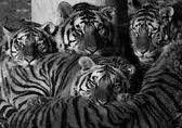 tiger university