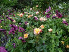 Høneballehaven: Philadelphus og roser