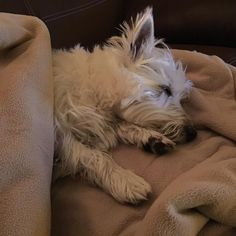 I am one tired pup today. Hope you all had a wonderful Friday and week. For all of my east coast friends stay safe and warm while the storm passes. Good night friends. (Jan. 22 2016) #westie #westhighlandwhiteterrier #westielove #westielife #westiegram #westietude #westiesofinstagram #dogs #dogoftheday #dogsofinstagram #doglovers #instagram #dogloversofinstagram #isabella #dogsofinstaworld #ilovemydog #pictureofheday #dogsareawesome #mydogisawesome #scottiesandwesties #instawestie…