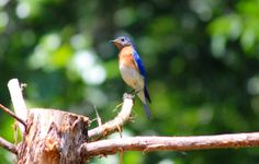 My American Bluebird. I believe this is the same one that was in my wood stove in my house recently.