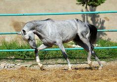 Gozgan (Akhal-Teké stallion at Dacor stud), photographed by Artur Baboev