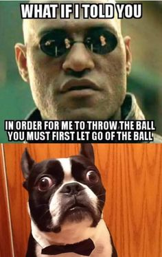 All the things we enjoy about the Small Boston Terrier Puppy Brindle Boston Terrier, Boston Terrior, Boston Terrier Love, Funny Dog Memes, Funny Animal Memes, Funny Animal Pictures, Funny Dogs, Dog Love, Puppy Love