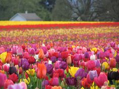Wooden Shoe Tulip Festival in Woodburn OR