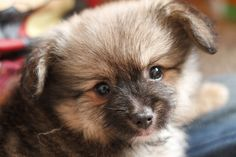 pomerainian puppy at 11 weeks old..ball of fluffyness!!
