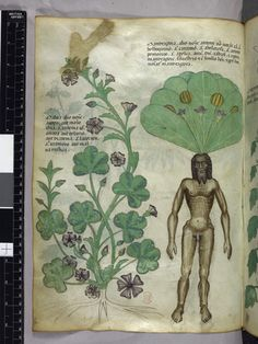 Mandrake, Herbal Manuscript (Sloane 4016), British Library, created in Italy (Lombardy), c. 1440