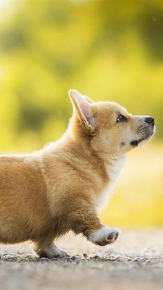 Welsh Corgi, cucciolo, bolle, cani