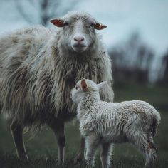 Easter. A day that's meant to celebrate life and renewal at least for those who are religious. How ironic that the vast majority spend the day paying for the suffering and slaughter of animals. Jesus was said to be gentle. Do you think if he was so gentle he would condone the murder of the gentlest of creatures in his name? Lambs are babies not your dinner.  Leave them off your plate. . . . Photo by @livingitrural . . . . #vegansofig #veganlife #plantbased #meatfree #vegan #eatclean #peace…