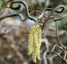 Buy Corylus avellana Contorta (Corkscrew Hazel) in the UK