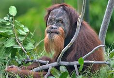 One last look at the San Diego Zoo's well-loved Cinta -- the eight year old Orangutan was shipped off to a zoo in St. Louis for breeding purposes last month.
