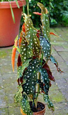 Full size picture of Begonia, Polka Dot Begonia (Begonia maculata var. wightii)
