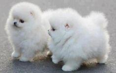 Pomeranian puppies.