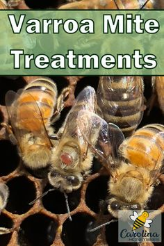 varroa mite treatment plan for your bees, #carolinahoneybees #beemites #varroamites